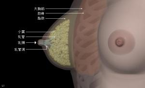 乳がん 図説